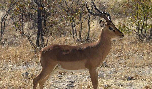 Фото: Самец импалы