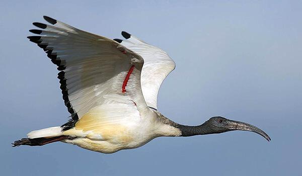 Фото: Священный ибис в полете