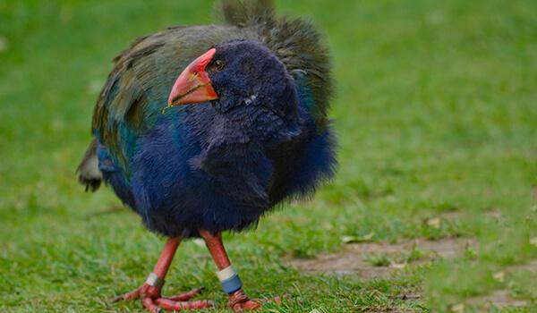 Фото: Птица такахе