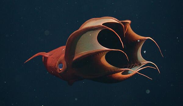 Фото: Моллюск адский вампир