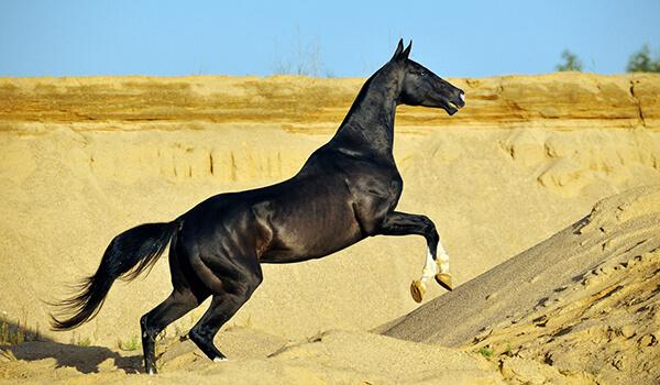 Фото: Черная ахалтекинская лошадь