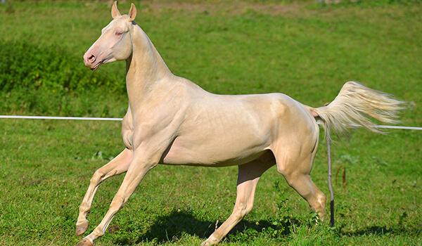 Фото: Белая ахалтекинская лошадь