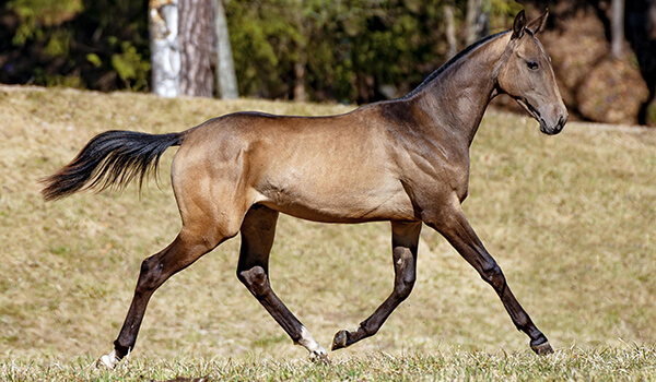 Фото: Ахалтекинская лошадь