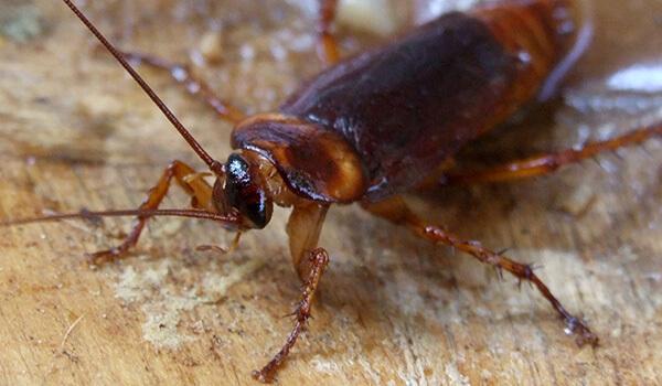 Фото: Американский таракан в природе