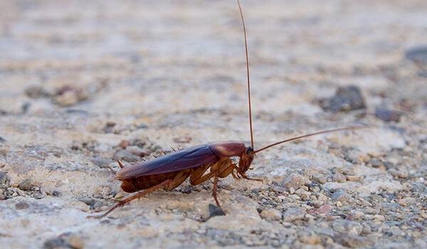 Фото: Как выглядит американский таракан