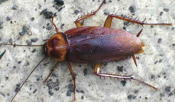 Фото: Большой американский таракан
