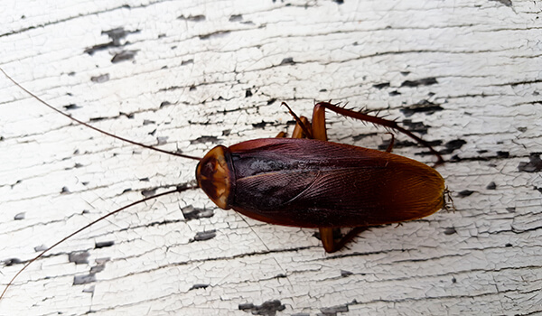 Фото: Американский таракан