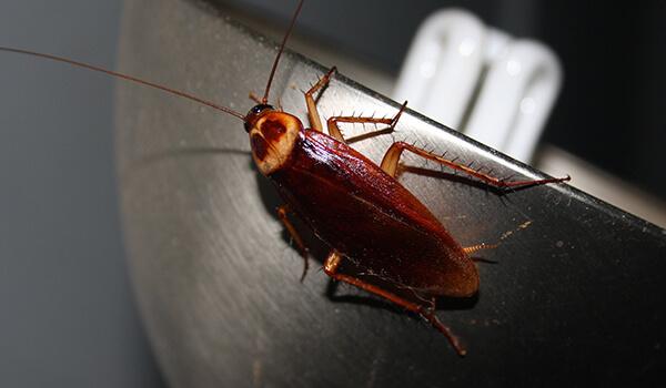 Фото: Американский таракан в России