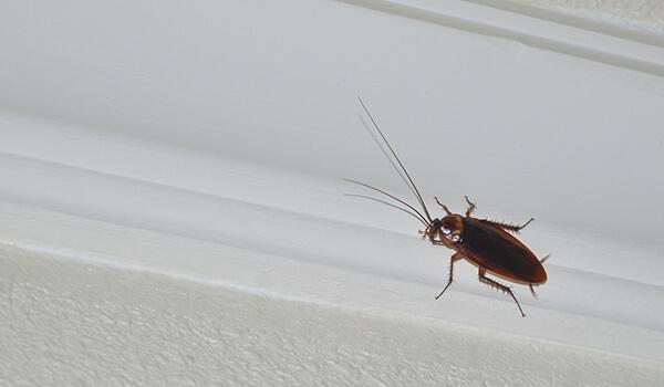 Фото: Американский таракан в квартире