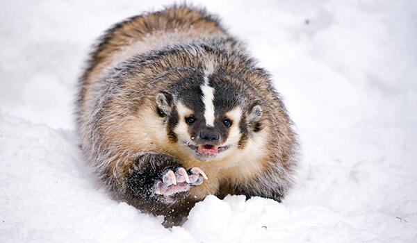 Фото: Американский барсук зимой
