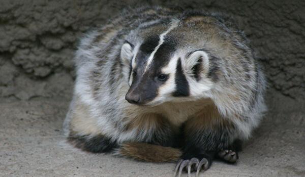 Фото: Американский барсук в природе