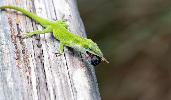 Фото: Анолис-рыцарь в природе