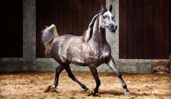 Фото: Как выглядит арабская лошадь