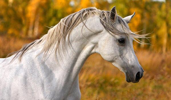Фото: Арабская лошадь