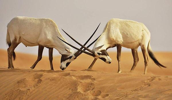 Фото: Самцы аравийского орикса