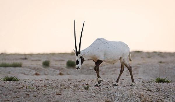Фото: Аравийский орикс