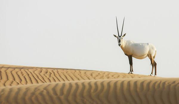 Фото: Аравийский орикс в пустыне