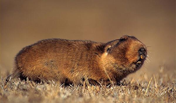 Фото: Бамбуковая крыса