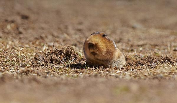 Фото: Бамбуковая крыса в норе