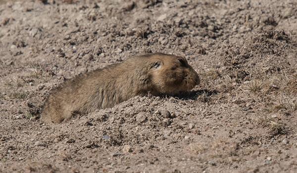 Фото: Бамбуковая крыса в природе