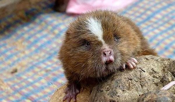 Фото: Как выглядит бамбуковая крыса