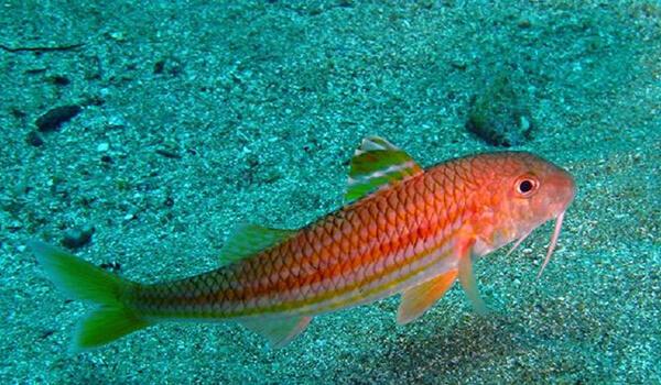 Фото: Морская барабулька
