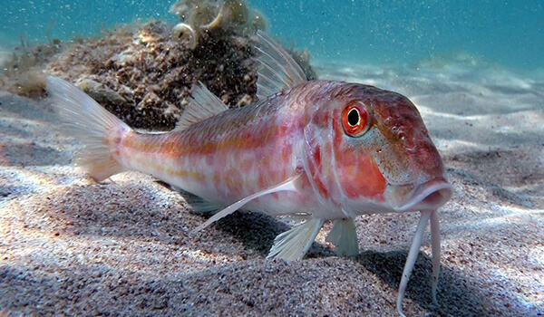 Фото: Рыба барабулька