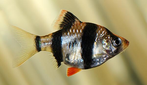 Фото: Рыбка суматранский барбус