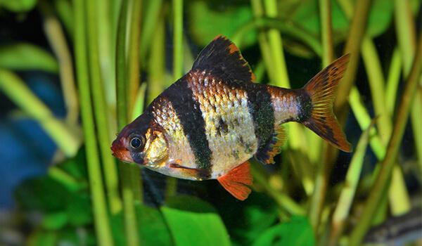 Фото: Рыбка барбус
