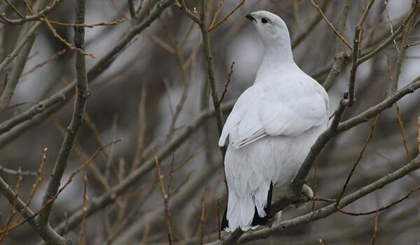 Фото: Белая куропатка в России