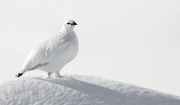 Фото: Как выглядит белая куропатка