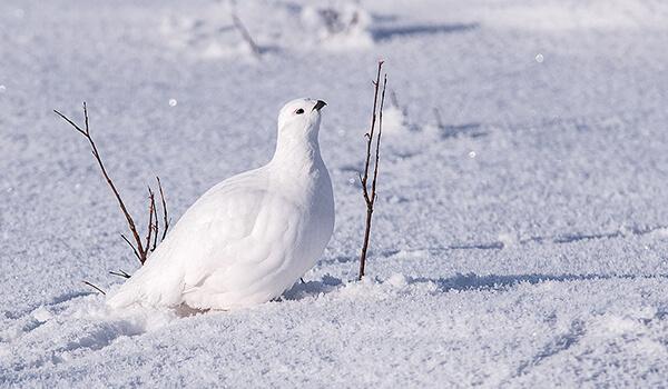 Фото: Птица белая куропатка