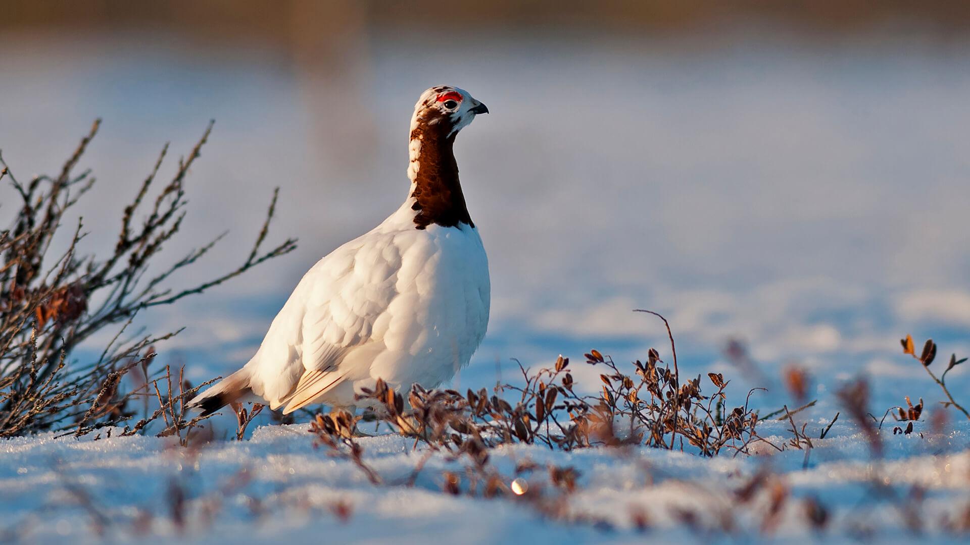 Серая куропатка — птица, которая не любит летать