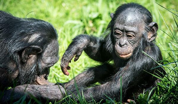 Фото: Детеныш бонобо