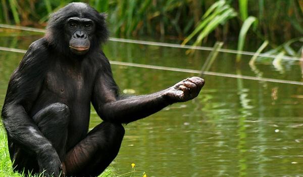 Фото: Бонобо