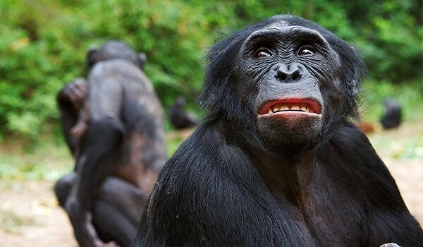Фото: Обезьяна бонобо