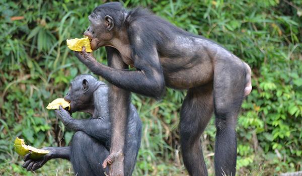 Фото: Бонобо в Африке