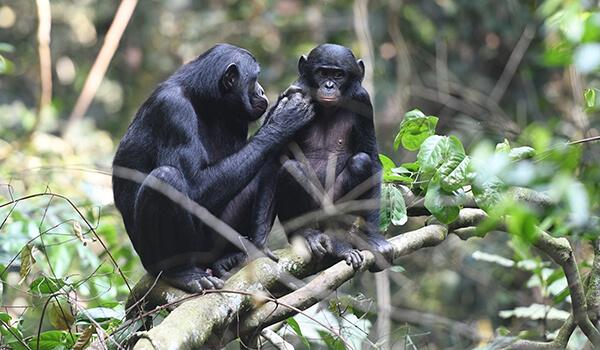 Фото: Шимпанзе бонобо