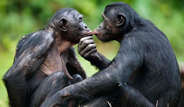Фото: Бонобо из Красной книги