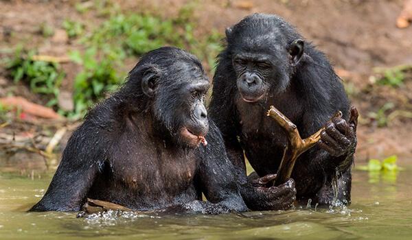 Фото: Как выглядят бонобо