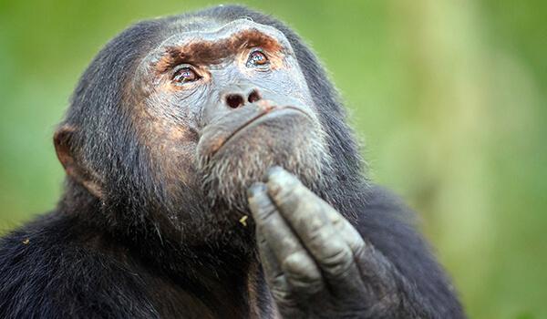 Фото: Как выглядит бонобо