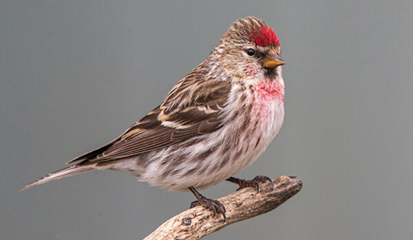 Фото: Птица чечетка на ветке