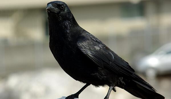 Фото: Как выглядит черная ворона