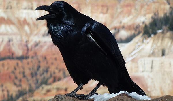 Фото: Черная ворона