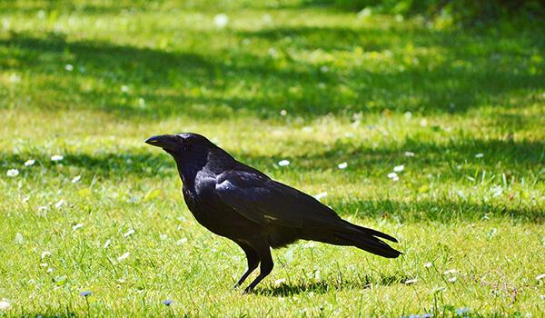 Фото: Черная ворона в России