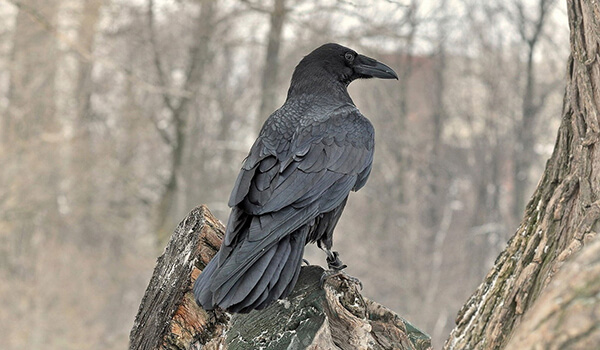 Фото: Черная ворона в природе