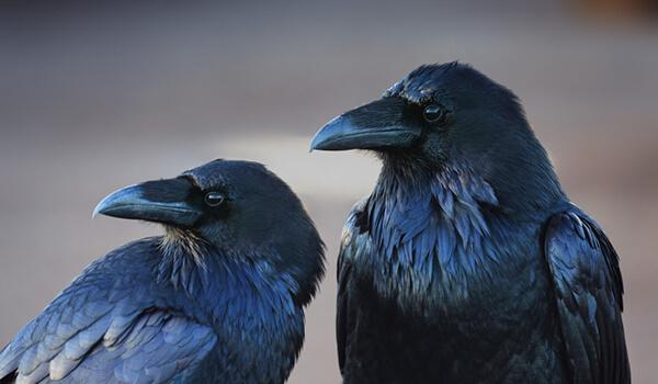 Фото: Пара черных ворон