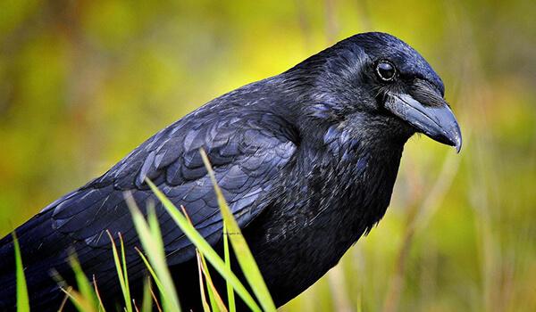 Фото: Птица черная ворона