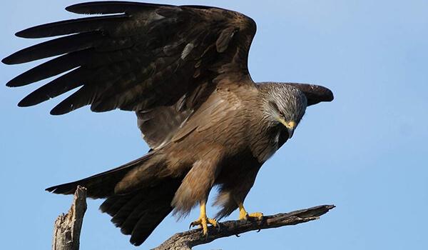 Фото: Птица чёрный коршун
