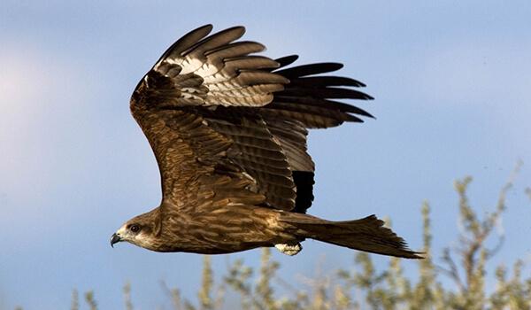 Фото: Чёрный коршун в полёте